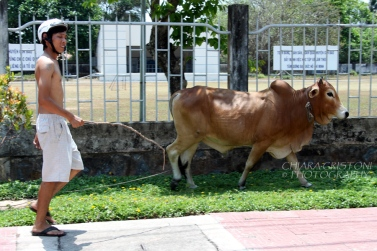 Take your cow for a walk!