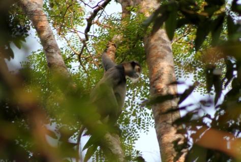 Black-shanked langur