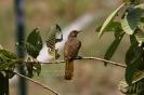 Stripe-throated bulbul (Pycnonotus finlaysoni)