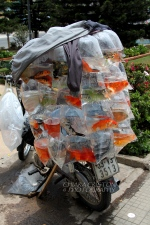 Goldfish for sale