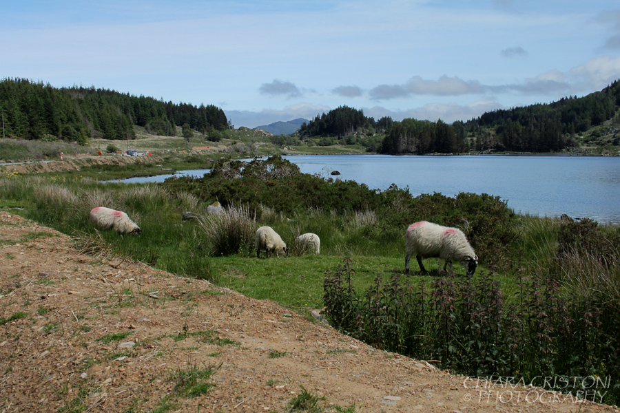 Sheep and lakes in countryside Ireland