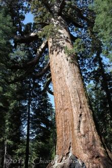 """Sequoia """"Yosemite Park"""""""