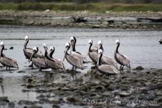 """pelicans Malibu """"Los Angeles"""" California"""