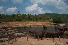 """Sri Lanka"" Pinnawala elephant orphanage"