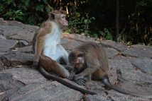 Monkeys grooming at the Cave Temple
