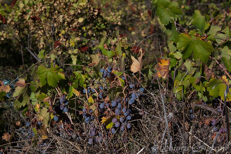 Cyprus grapes
