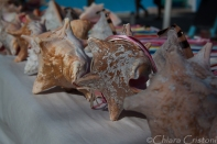 "Belize ""Caye Caulker"" seashells"
