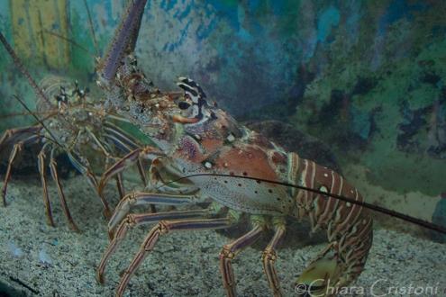 Lobster at Tortugranja