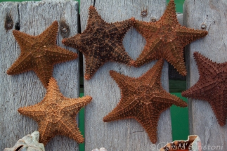 Starfish for sale